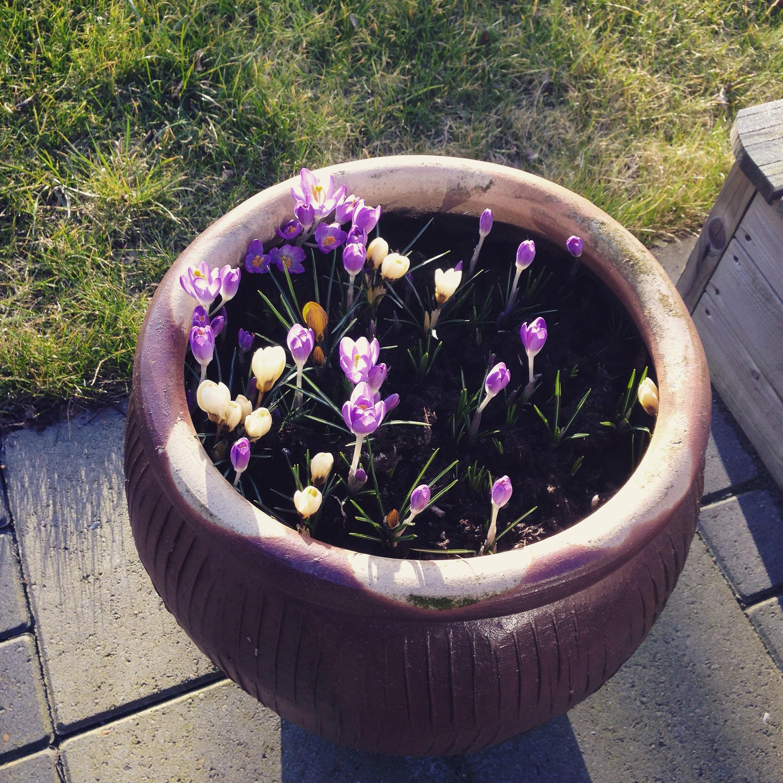 Endnu mere forår i min krukke mandag...